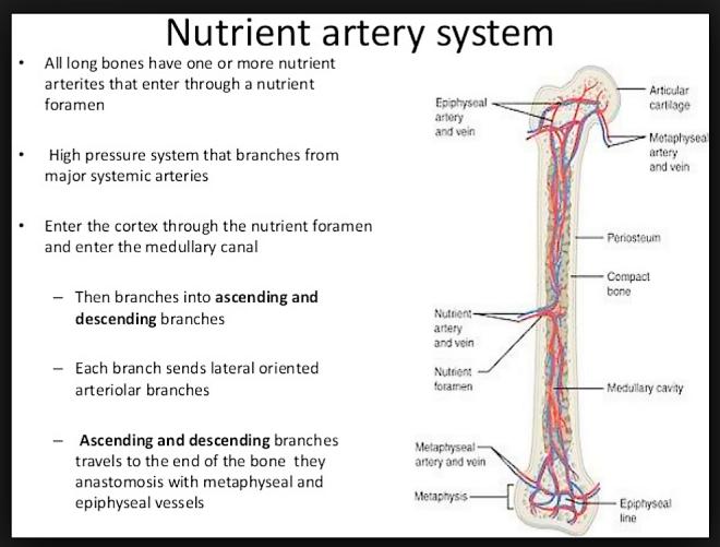 blood supply long bones